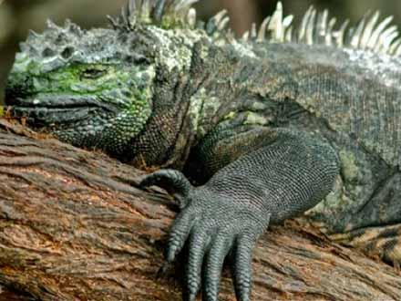 Iguana de las Islas Galápagos