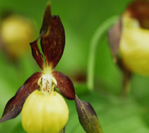 El Gobierno de Aragón vigila a una orquídea silvestre en peligro de extinción