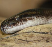 La ciencia utiliza las serpientes y los cuentos populares para prevenir desastres naturales