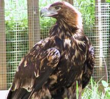 El águila imperial ibérica aumenta su población hasta las 409 parejas en 2013