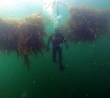 Tejidos innovadores para impulsar el cultivo de algas marinas en la UE