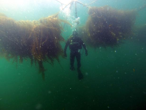 Cultivo de algas cerca de Galway (Irlanda)