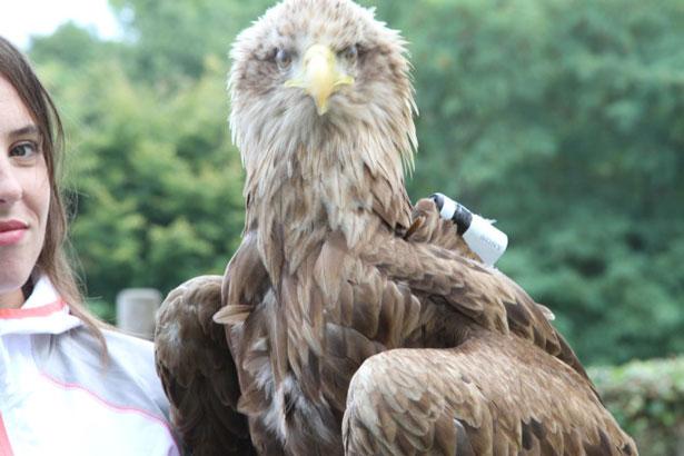 SONY. Aguila de cola blanca