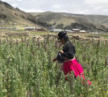 Sembrar quinua orgánica para reducir la pobreza en los Andes